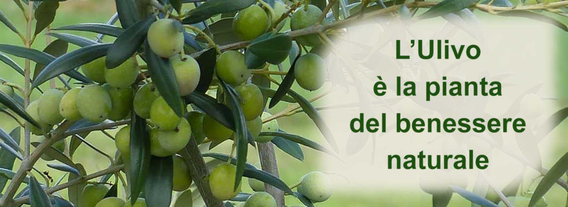 L'infuso di foglie di olivo favorisce il benessere naturale